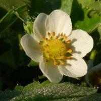 цветок клубники (садовой земляники) :: Валерий Изотов