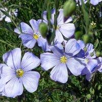 Голубые цветы. :: Чария Зоя