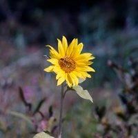 пчелка и подсолнух :: Insubordinate Колядинцев