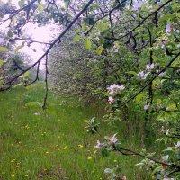Сады цветут :: Алексей Мартынов