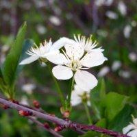 цветущая вишня :: Inna Galkina