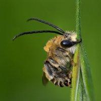 Длинноусая пчела :: Александр Земляной