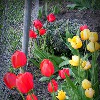 тюльпаны :: Inna Galkina
