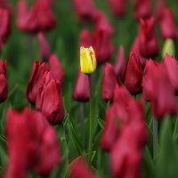Тюльпаны :: Ростислав Бычков