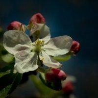 Цветущих яблонь... :: antip49 antipof