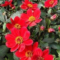"Dahlia х hortensis "" Happy Day Red "" :: laana laadas"