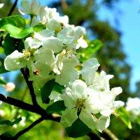Яблони в цвету :: Милешкин Владимир Алексеевич