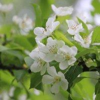 Яблоня в цвету :: Ptica Ptica