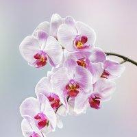 Орхидея на светлом фоне :: Светлана Л.