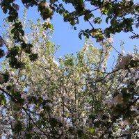 Вдыхая нежность яблони в цвету :: Татьяна Ломтева
