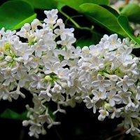 Благоухает ароматом сирень весною.. :: Маргарита ( Марта ) Дрожжина