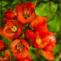 Японская айва цветет :: Виктор