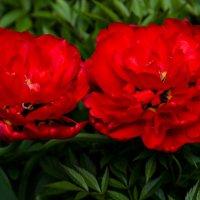 Махровые тюльпаны :: Сергей Шашкин