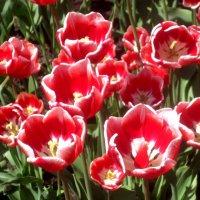 Сияющие тюльпаны :: Елена Семигина