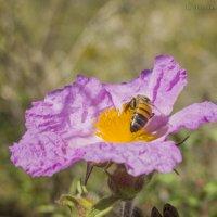 Пчела :: Татьяна Огаркова