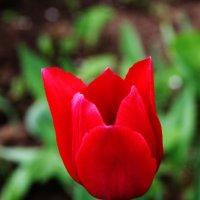 Красный тюльпан :: Damir Si