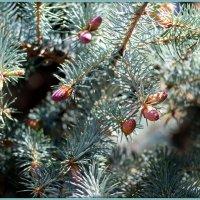 Голубая ель весной :: Андрей Заломленков