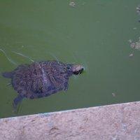 черепаха :: павел
