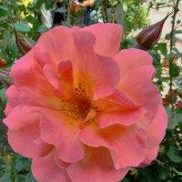 нежный цветок на ветру :: Валерий Дворников