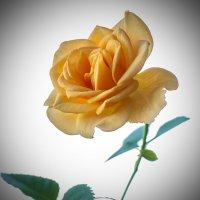 Роза :: Михаил Вандич
