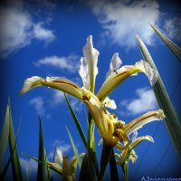 Весны цветы :: Андрей Заломленков