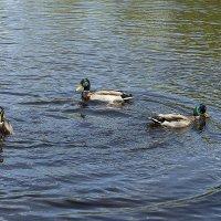 Синхронное плаванье.... :: сергей адольфович