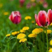 Тюльпаны :: Алексей Мартынов