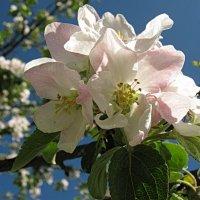 Яблони в цвету я не забуду. :: Владимир Гилясев