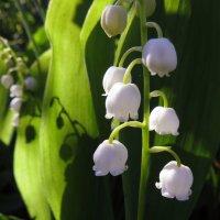 Ландыши цветут :: Ната Волга