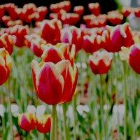 тюльпаны :: Валентина M