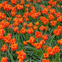 Tulips in Holland 04-2015 (20) :: Arturs Ancans