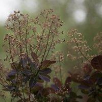 Скумпия цветёт :: Елена Ахромеева