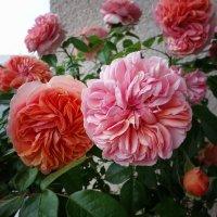 Почему так сладко пахнут розы, принося сумятицу в сердца? :: Galina Dzubina