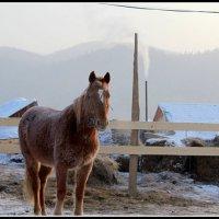 Лошадь зимнитром  утром. :: Любовь Иванова