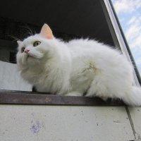 Мурка - наблюдатель . :: Мила Бовкун