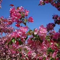 Цветут яблони в Коломенском :: mila