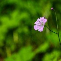 Горный цветок :: Горный турист Иван Иванов