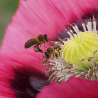 Пчелы в маке :: Елена Мартынова