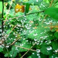 все в капельках и паутинке после дождя :: Елена Семигина