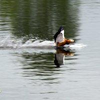Duck :: Sergey Sergaj