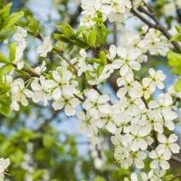 Вишня в цвету :: Татьяна Огаркова
