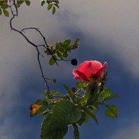 Цветет шиповник :: viton