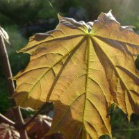 Молодые листья :: Анатолий