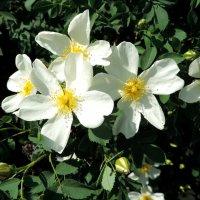 Шиповник цветёт. :: bemam *