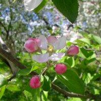 Цветок яблони :: BoxerMak Mak