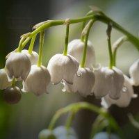 Как тонок ландыша волшебный аромат! :: Ирина Котенева