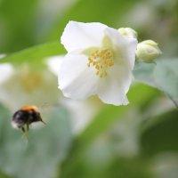 С цветка на цветок :: Владимир Марков