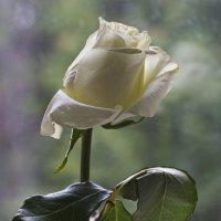 Белая роза ... :: Ольга Винницкая
