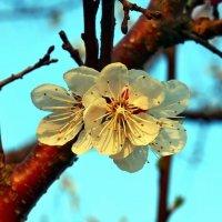Один раз в год сады цветут :: Александр Резуненко