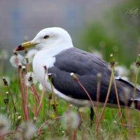 Чайка :: Tatyana Belova